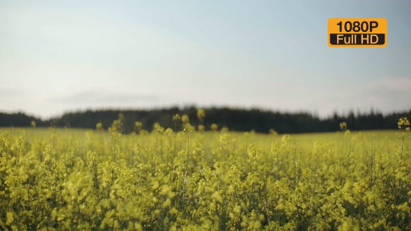 Thumbnail for Rapeseed Field and Forest on a Horizon