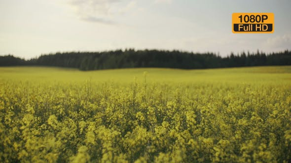 Thumbnail for Rapeseed Field and Forest on a Horizon Slide Camera 4