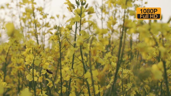 Thumbnail for Bee On a Rapeseed Flower Slowmotion