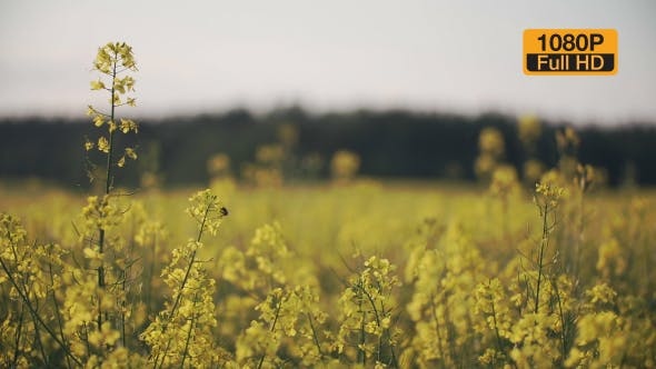 Thumbnail for Bee On a Rapeseed Flower