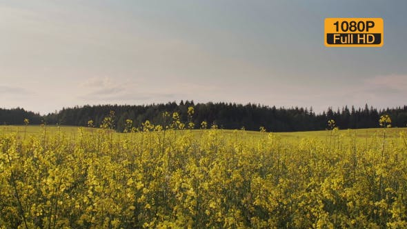 Thumbnail for Rapeseed Field and Forest On a Horizon 2