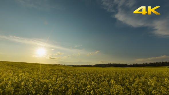 Thumbnail for Sunset Over Yellow Rapeseed Field 2