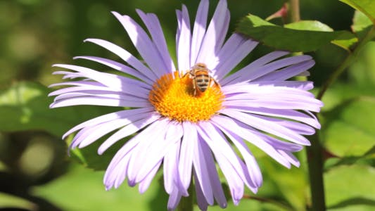 Thumbnail for Bee Collects Nectar On The Flowers 1