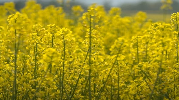 Thumbnail for Beautifully Yellow Oilseed Rape Flowers In The Field.