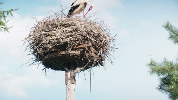 Thumbnail for White Storks With Offspring On Nest. The White Stork (Ciconia Ciconia)