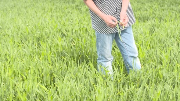 Thumbnail for Farmer Checks Cereal, Wheat Before Harvest Time