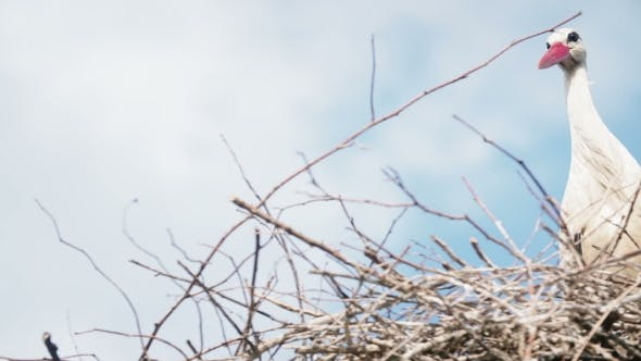 White Storks With Offspring On Nest. The White Stork (Ciconia Ciconia)