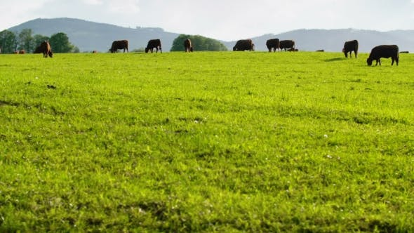 Thumbnail for Cows Grazing In a Valley In New Zealand