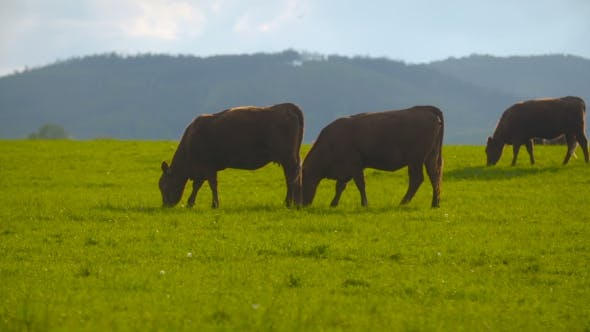 Thumbnail for Deep Red Cattle Cow Grazing.