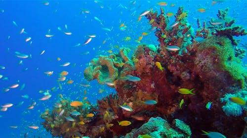 Underwater Glassfish with Blue Water Bacground