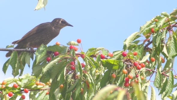 Thumbnail for Common Blackbird On The Cherries