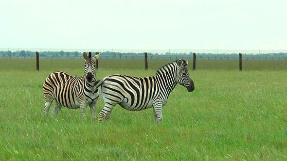 Thumbnail for Two Zebras on the Prairie on a Green Grass