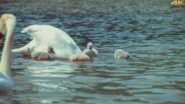 Thumbnail for Two white patents swan swims and feeding kids, reflecting waved water of lake around