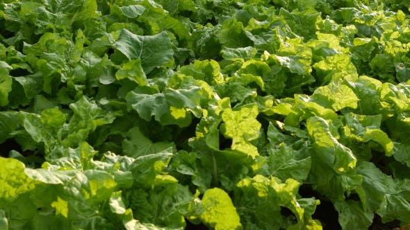 Thumbnail for Lettuce Vegetable