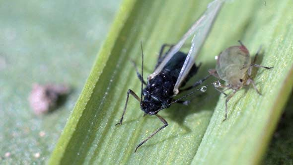 Cover Image for Aphids and Small Fly on Grass