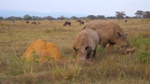 Thumbnail for Two white rhinos eating grass