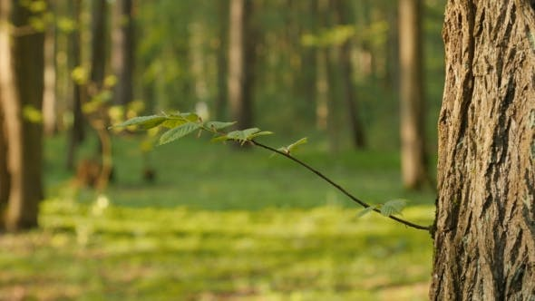 Thumbnail for Fresh Green Leaves On Twig, Young Leaves.