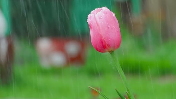 Thumbnail for Pink Tulip Flower Under Rain