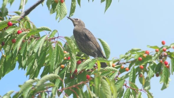 Thumbnail for Common Blackbird On The Cherries