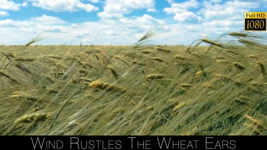 Thumbnail for Wind Rustles The Wheat Ears