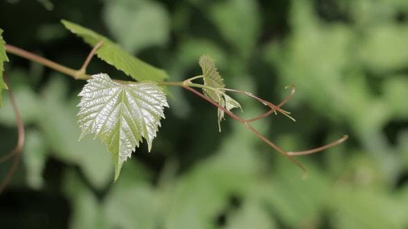 Thumbnail for Grape Leaves
