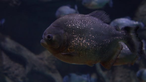 Thumbnail for Piranhas Floating Under Water