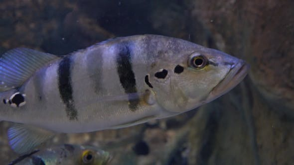 Thumbnail for Gray Striped Archer Fishes Hover Under Water   Shot