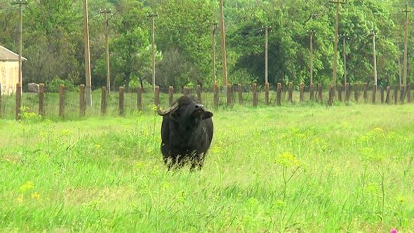 Thumbnail for Black Bull in the Wilderness Near the Farm