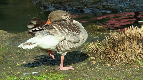 Goose Standing on One Leg Near a Creek and Cleans Its Feathers