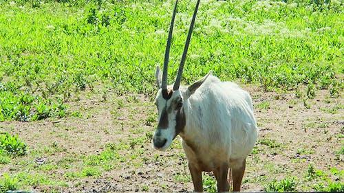 Arabian Oryx Looks Towards the Camera
