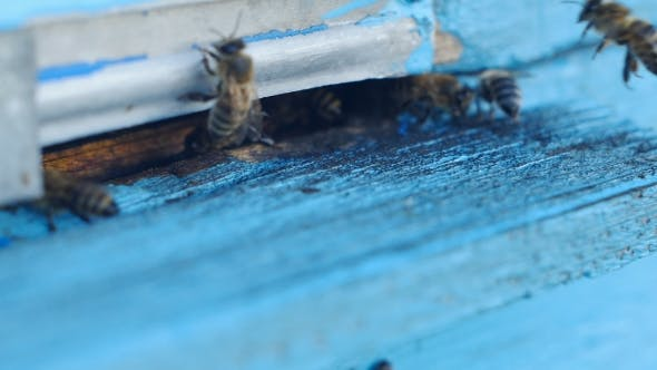 Thumbnail for Honey Bees Swarming And Flying Around Their Beehive