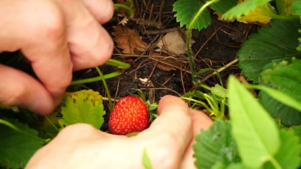 Thumbnail for Footage Young Man Gather Strawberries In The Garden