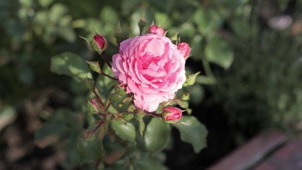 Thumbnail for Rose