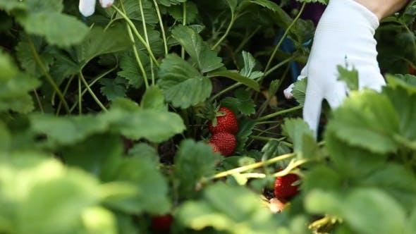 Thumbnail for Ernte Erdbeeren
