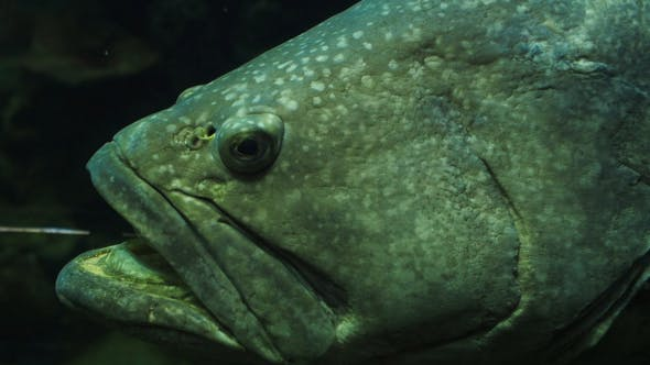 Thumbnail for Large Fish In Aquarium Tank