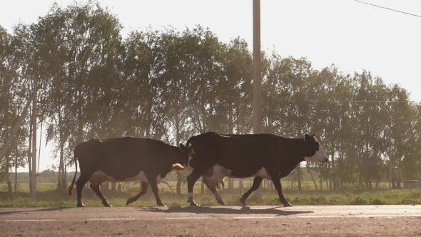 Thumbnail for Herd Of Cows Crossing The Main Road