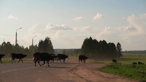Thumbnail for Herd Of Cows Crossing The Traffic Road