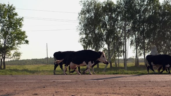 Thumbnail for Small Herd Of Cows Crossing The Road