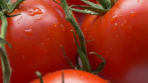 Fresh tomato cluster on vines close-up 4K 2160p 30fps UHD tilting footage - Wet organic tomato veget