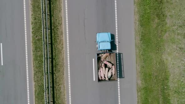 Thumbnail for A Lorry Carrying Pigs Along the Road
