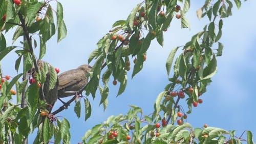 Blackbirds Into The Garden