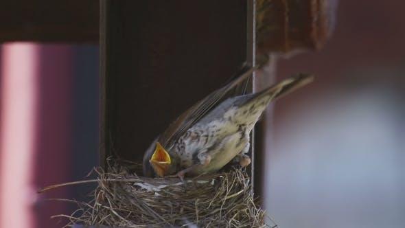Thumbnail for Female Fieldfare On The Nest