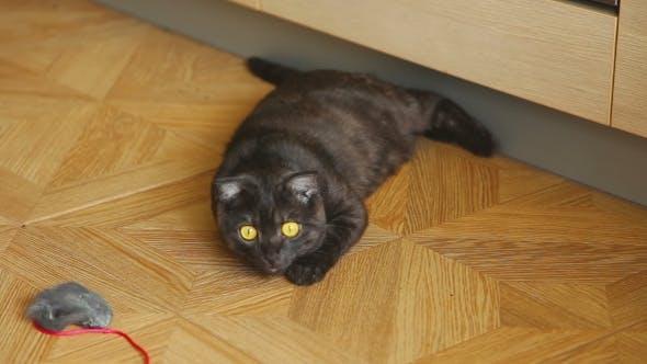 Thumbnail for Gray Scottish Fold Cat