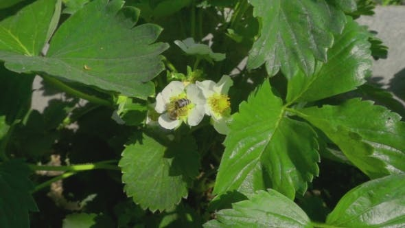 Thumbnail for Bee On Strawberry Flowers