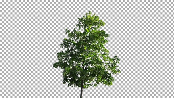 Thumbnail for Real Tree Isolated on the Wind 46
