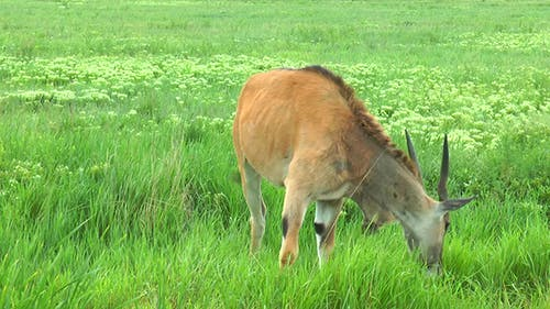 Female Eland Antelope  It Stands in the Grass