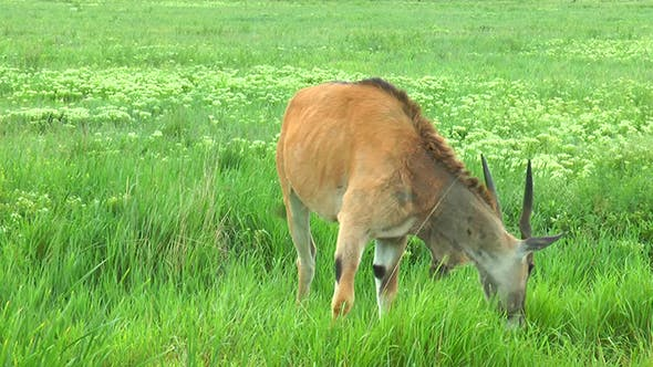 Thumbnail for Female Eland Antelope  It Stands in the Grass
