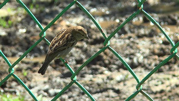 Thumbnail for Sparrow Sitting on a Metal Grid