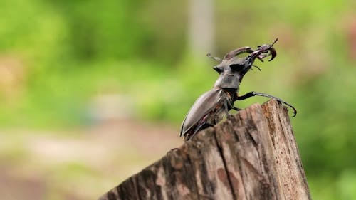 For Captions. Stag-beetle Crawled To The Edge Of The Beam.