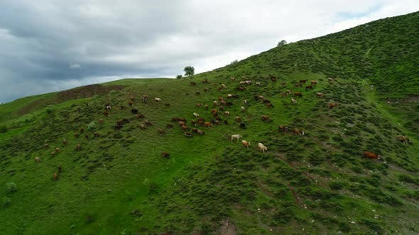 Cover Image for Group Of Cows On Pasture